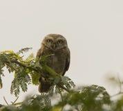 Запятнанный Owlet (Brama Athene) Стоковое Изображение