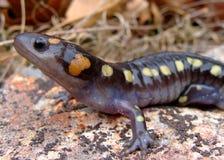 запятнанный salamander Стоковые Изображения