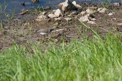 Запятнанный Sandpiper Стоковая Фотография
