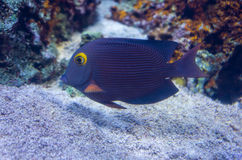 Запятнанный surgeonfish Стоковое Изображение