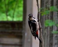 Запятнанный woodpecker на ветви дерева Стоковая Фотография RF