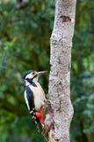 запятнанный woodpecker Стоковое Изображение