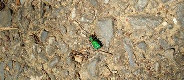 6 запятнанных зеленых жуков тигра Стоковое фото RF
