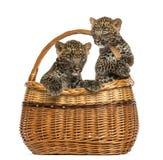 2 запятнанных новичка леопарда в корзине wicker Стоковое фото RF