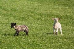 2 запятнанных овечки на траве Стоковое Изображение