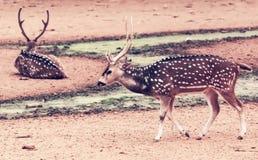2 запятнанных оленя в пленнике Стоковое Изображение