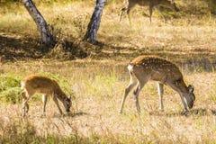 2 запятнанных оленя едят траву Стоковое Фото