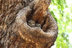 2 запятнанных Owlets Стоковые Фотографии RF