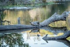 2 запятнали водяные черепах на ветви в воде Стоковое фото RF