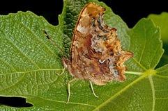 запятой бабочки Стоковые Фото