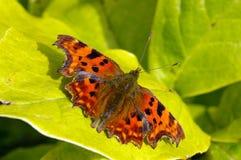 запятой 15 бабочек Стоковая Фотография