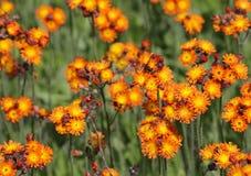 Заплата оранжевого Hawkweed стоковые фото