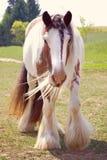 Заплетенная лошадь Vanner цыганина Стоковые Изображения