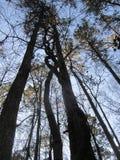 заплетенный ствол дерева Стоковое Фото