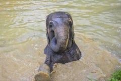 Заплывание азиатского слона в Таиланде стоковое изображение rf