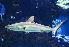 Заплывание акулы в аквариуме с рыбами Стоковые Фотографии RF