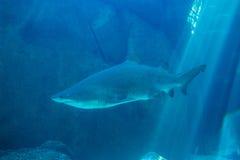 Заплывание акулы в аквариуме Стоковое фото RF
