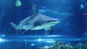 Заплывание акулы в аквариуме видеоматериал