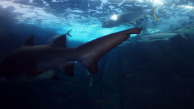 Заплывание акулы в садке для рыбы видеоматериал