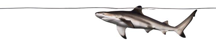 Заплывание акулы рифа Blacktip на поверхности Стоковые Изображения