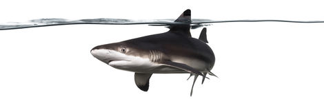 Заплывание акулы рифа Blacktip на поверхности Стоковая Фотография RF