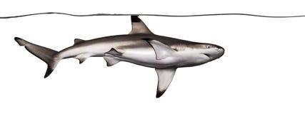 Заплывание акулы рифа Blacktip на поверхности Стоковая Фотография