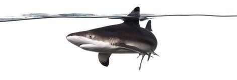 Заплывание акулы рифа Blacktip на поверхности Стоковые Фотографии RF
