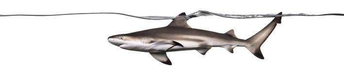Заплывание акулы рифа Blacktip на поверхности Стоковое фото RF