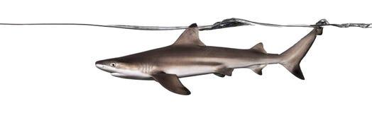 Заплывание акулы рифа Blacktip на поверхности, Стоковая Фотография