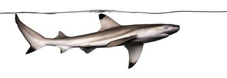 Заплывание акулы рифа Blacktip под водой, Стоковая Фотография