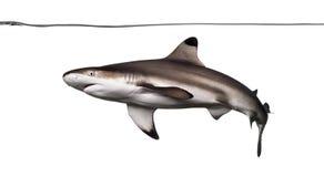 Заплывание акулы рифа Blacktip под водоразделом, Стоковые Фото