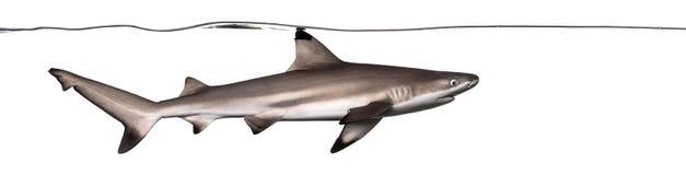 Заплывание акулы рифа Blacktip под водоразделом Стоковое Изображение