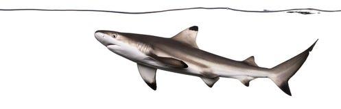 Заплывание акулы рифа Blacktip под водоразделом Стоковые Изображения RF