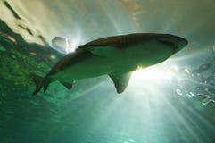 Заплывание акулы Стоковые Изображения RF