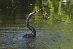 Заплывание американской змеешейки в воде Стоковые Изображения RF