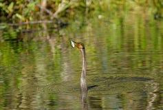 Заплывание американской змеешейки Стоковая Фотография