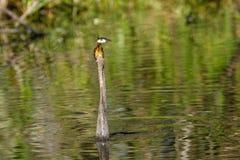 Заплывание американской змеешейки Стоковое Фото