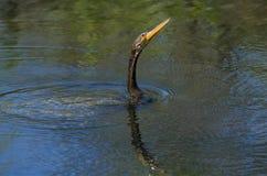 Заплывание американской змеешейки Стоковые Изображения