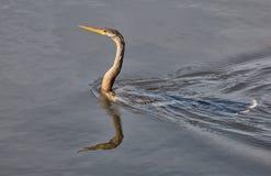 Американская змеешейка Стоковое Фото