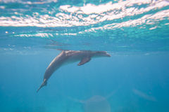 Заплывание афалина в лагуне Стоковые Фотографии RF
