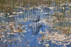 Заплывание аллигатора болотистых низменностей в болоте Стоковые Фото