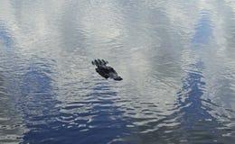 Заплывание аллигатора Стоковые Изображения