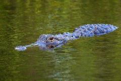 Заплывание аллигатора (mississippiensis аллигатора) стоковые изображения rf