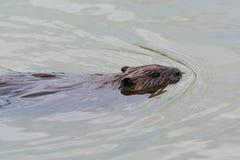 Заплывание бобра в пруде Стоковая Фотография RF