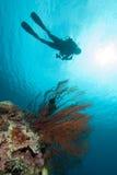 Заплывание водолаза, вентилятор моря Anella Mollis в Gili, Lombok, Nusa Tenggara Barat, фото Индонезии подводном Стоковые Изображения