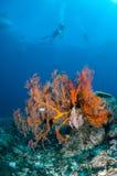 Заплывание водолаза, вентилятор моря Anella Mollis в Gili, Lombok, Nusa Tenggara Barat, фото Индонезии подводном Стоковое Изображение RF