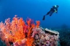 Заплывание водолаза, вентилятор моря Anella Mollis в Gili, Lombok, Nusa Tenggara Barat, фото Индонезии подводном Стоковое фото RF