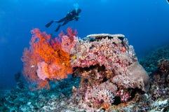 Заплывание водолаза, вентилятор моря Anella Mollis в Gili, Lombok, Nusa Tenggara Barat, фото Индонезии подводном Стоковая Фотография RF