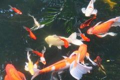 Заплывание вырезуба Koi Стоковые Фото