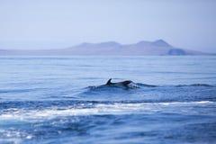 Заплывание в голубом Тихом океане, Галапагос дельфина Стоковое Изображение